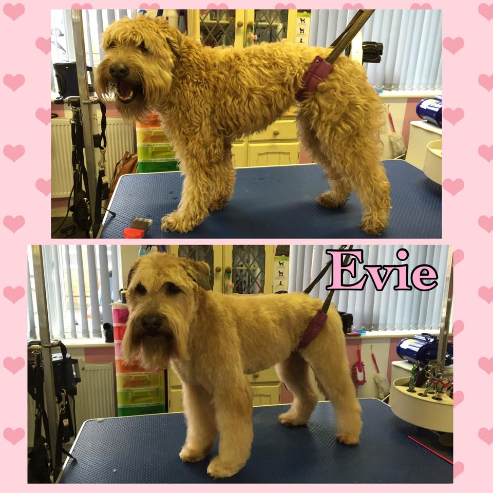 Evie - Soft Coated Wheaten Terrier
