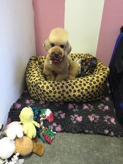 Teddy - Poodle