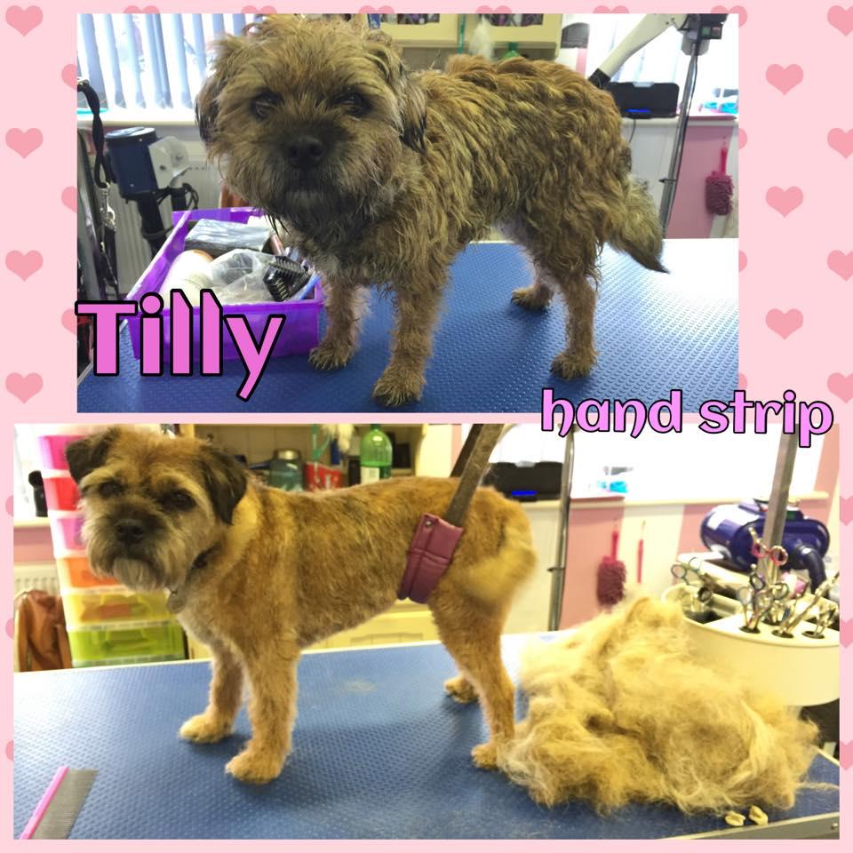 Tilly - Handstrip - Border Terrier