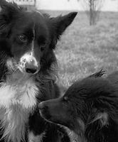 intimidation chien