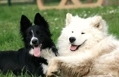 chiens amis