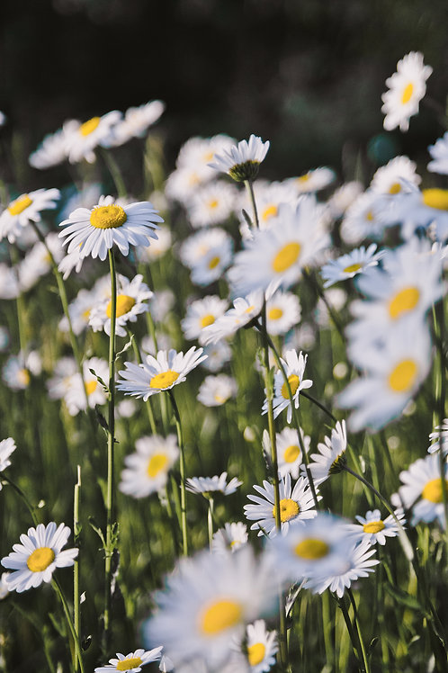 Daisy Fields Forever
