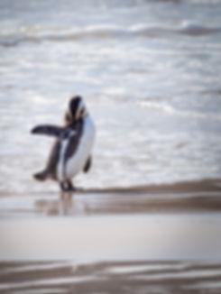 african-penguin-animal-aquatic-animal-18