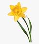 Single daffodil.png