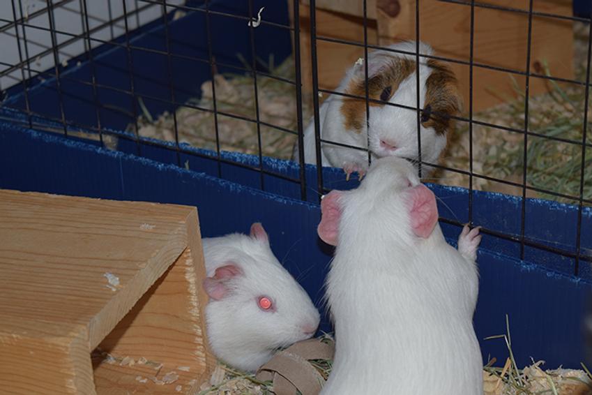 guinea pig 6.png