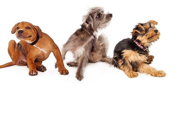 Fleas dogs scratchng.jpg