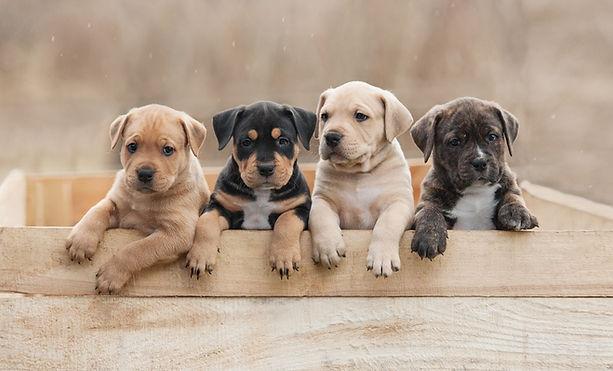 puppies four.jpeg