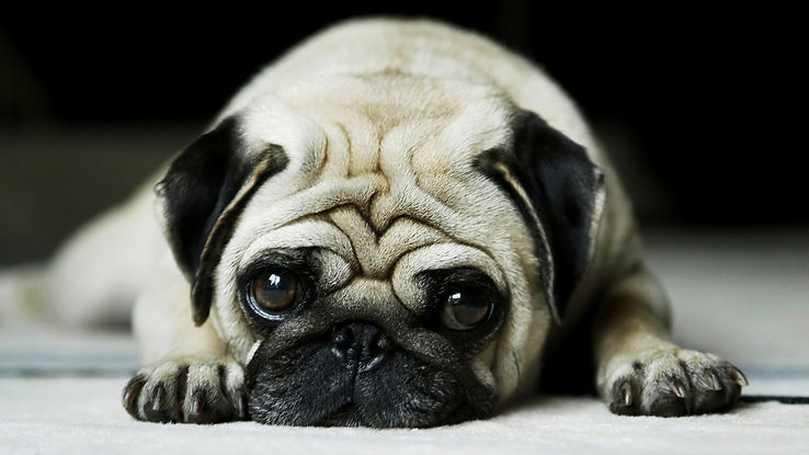 pug-face-cute-puppy-3840x2160.jpg