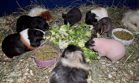 guinea-pigs 1.png
