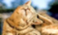 cat with fleas.jfif