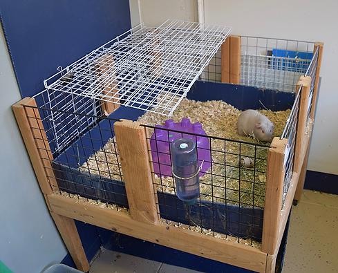 guinea pig 1.png