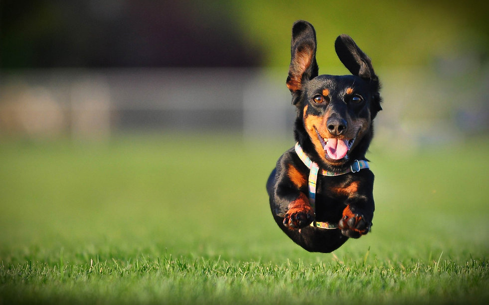 dachshund-dog-jumps-on-grass.jpg