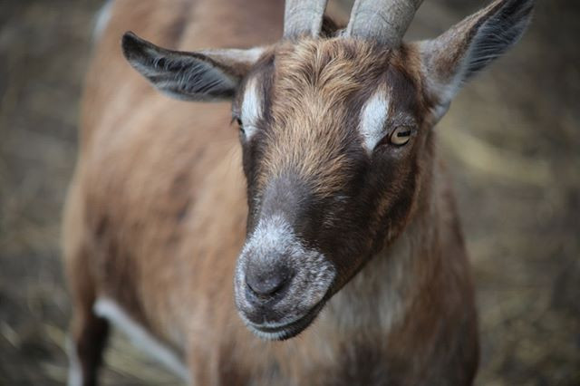 Goat people