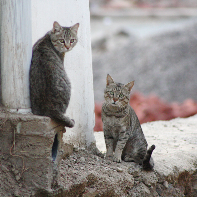 Feral cats at Menri
