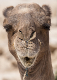 Camel Hayday_.jpg
