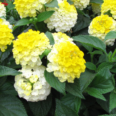 LANTANA CAMARA LEMON DROP