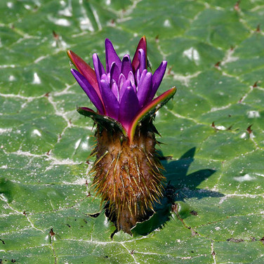 PRICKLE WATER LILLY