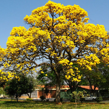 TABEBUIA ARGENTEA