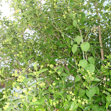NYCTANTHES ARBOR TRISTIS