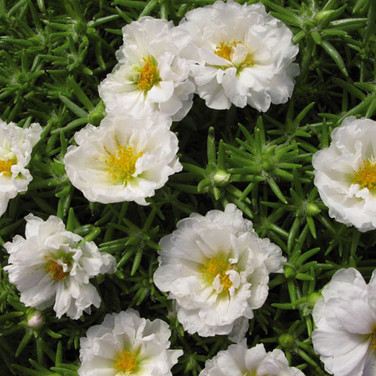 PORTULACA GRANDIFLORA WHITE