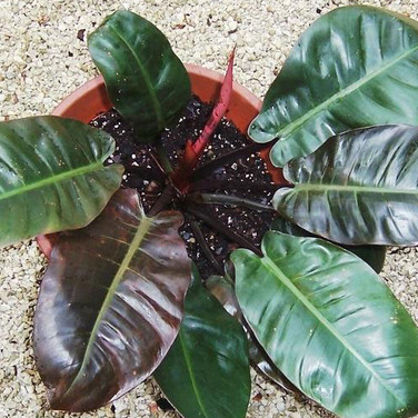 PHILODNDENDRON BLACK