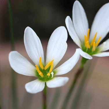 WATER ONION LILLY