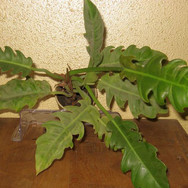PHILODENDRON SPECIES YELLOW
