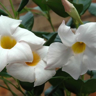 MONDOVILLA WHITE