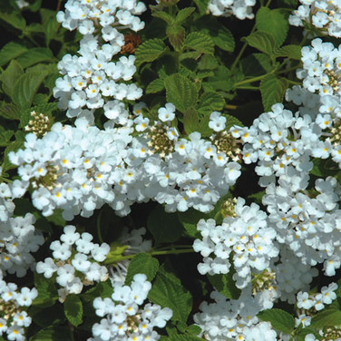 LANTANA SELLOWIANA ALBA