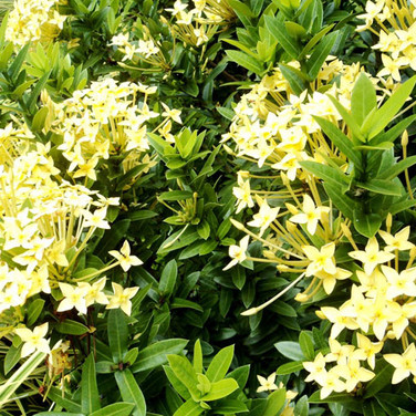 IXORA SUNKIST YELLOW
