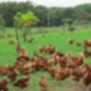 Box Divvy Chickens free range.jpg