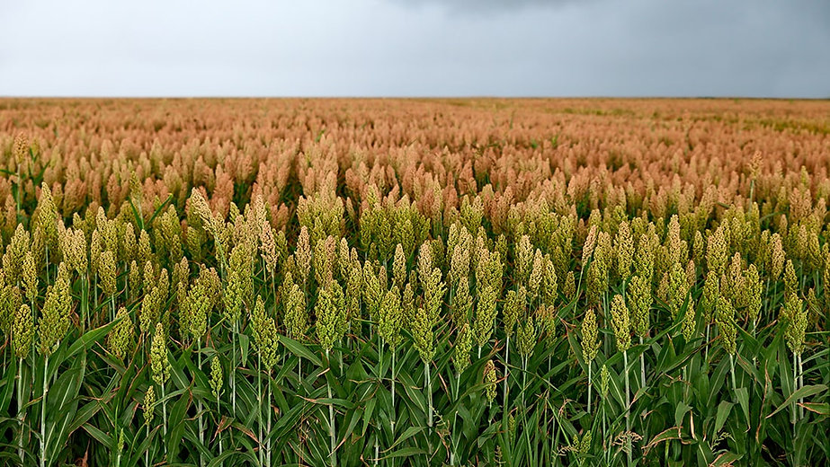Blog_Post_Image_Fertilizer_Sorghum-min.j