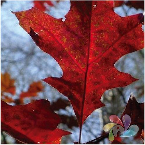 TFA - Red Oak