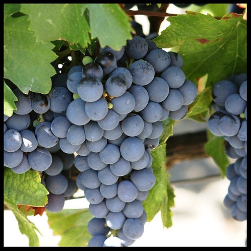 CAP - Grape  Flavor