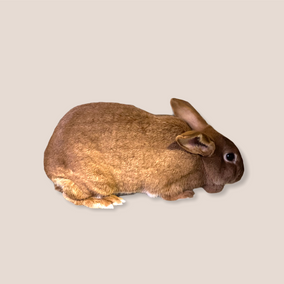 Ginger (NZ Doe) - Available $25