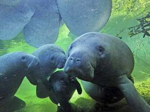 Freezing Manatees, Global Warming, & Fossil Fuel Subsidies