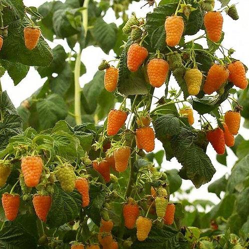 Малина. Оранжевое чудо