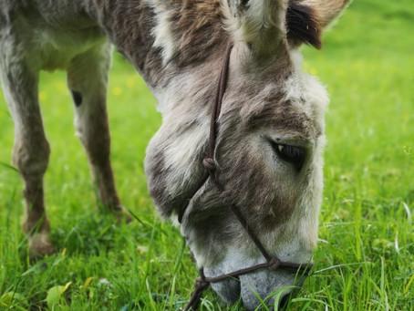 Du empfindsamer Esel