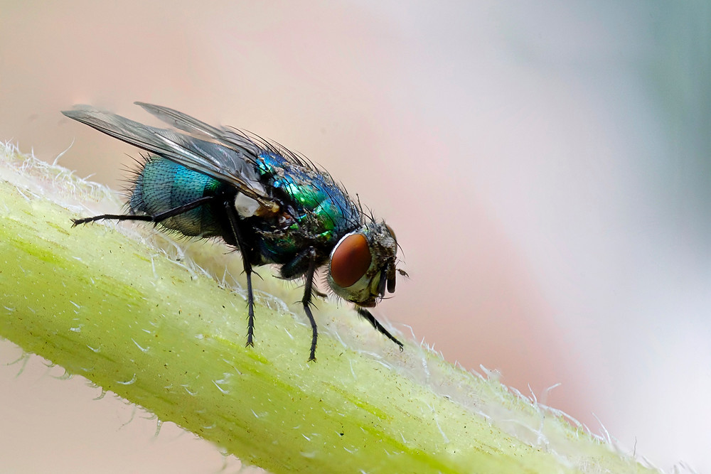 House fly, up close.