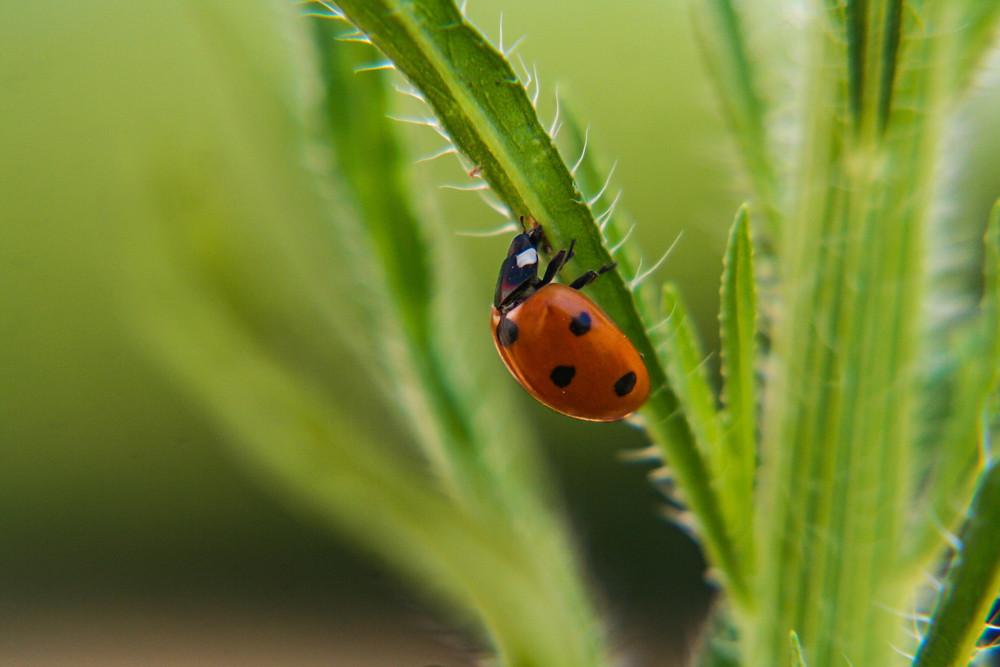 Ladybug crawling on grass.