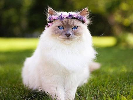 Cat Crowns, Diadems for pets