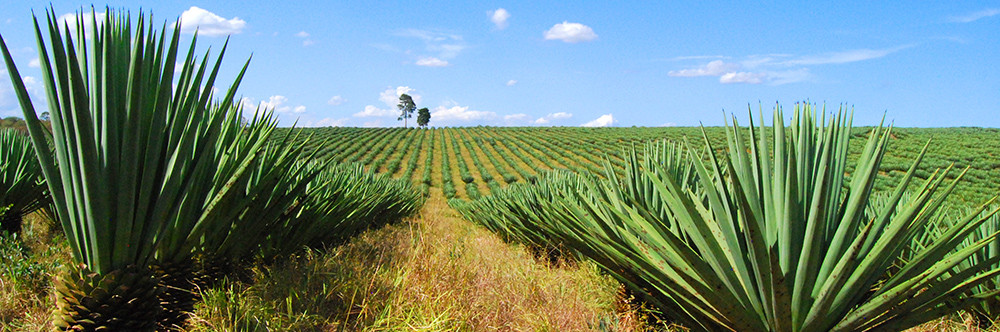 Sisal, Sisal Plant, Sisal Fields, Sisal Facts, Difference between Sisal and Seagrass