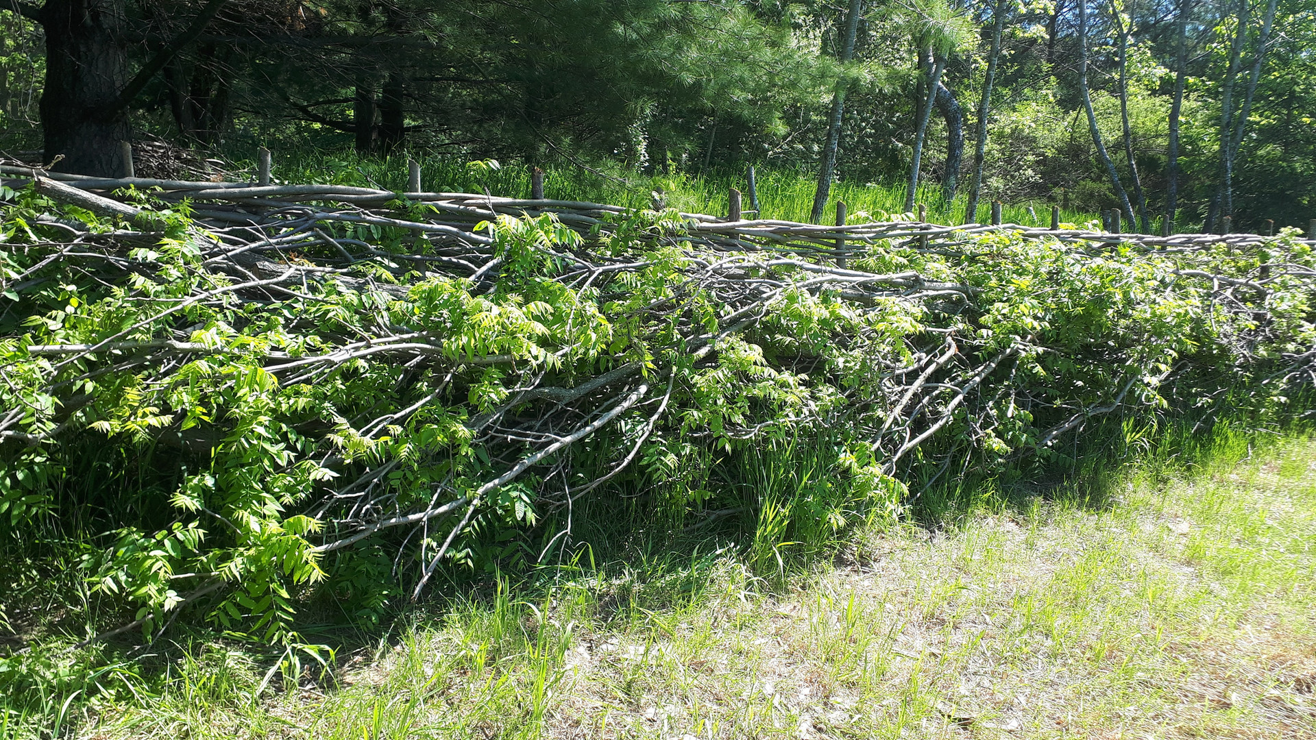A. Black walnut hedge layed in South oif England Style, Mount Wolfe Farm, ON (1)