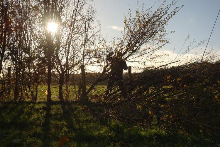 Laying a Hedge (c)NigelAdams.JPG