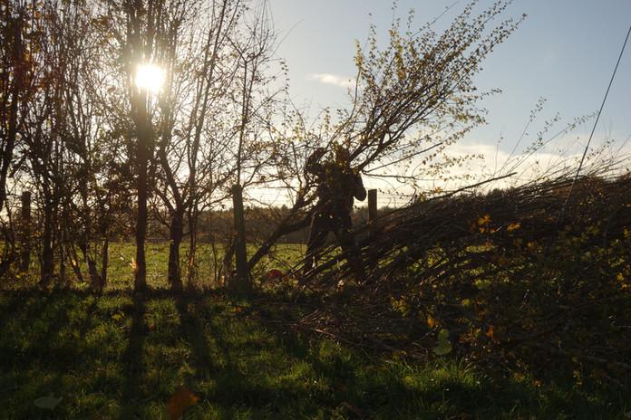 G. Laying a Hedge (c)NigelAdams.JPG
