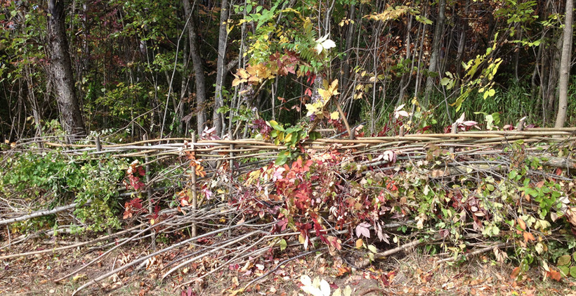 HOL 2016 Demonstration hedge at Mount Wolfe Farm