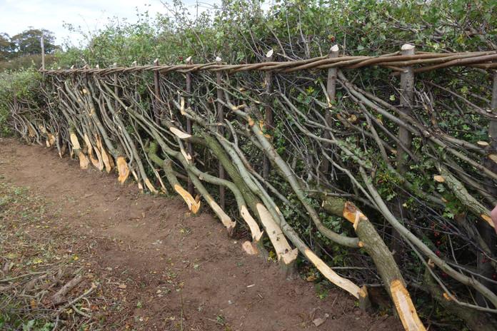 F. Midland Style Hedge (c) N.Adams.JPG
