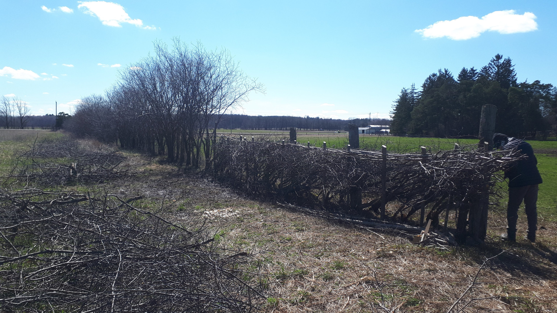 C.Section of Ueropean buckthorn hedge layed in the Midland Style, Caledon, ON (2)