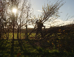 Laying a Hedge (c)NigelAdams.JPG