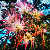 Nature's firecrackers, part II. #july4th